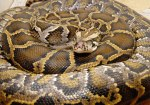 snake-Dev-Khalsa