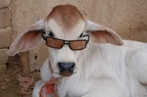 funny-calf-in-goggles
